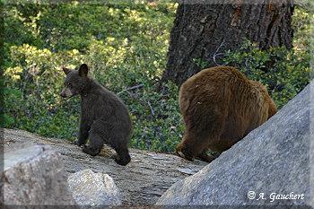 Kleine Bären Wars andrea und achim s usa seite staaten kalifornien yosemite